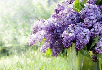 Pourquoi rêve de lilas? Nous apprenons!