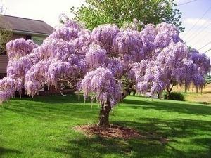 Fiore meraviglioso – glicine! Piantare e curare