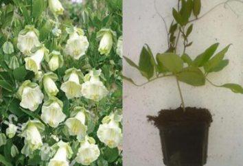 Kobei crecimiento -, hermosas enredaderas con flores inteligentes