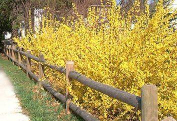 Forsythia – arbusto con flores de oro: perfecta para el jardín