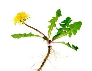 korzeń mniszka: użyteczne właściwości roślin