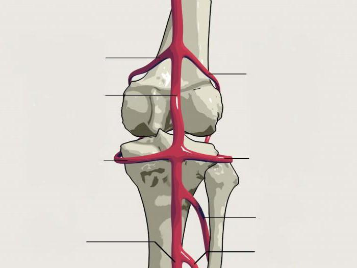 arteria poplítea: anatomía y topografía. Patología de la arteria ...