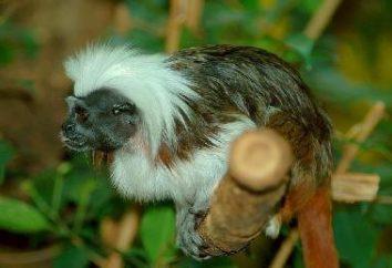 To wygląda jak mała małpa z rodziny pazury?