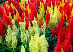 fiori annuali, che fioriscono tutta l'estate sul posto
