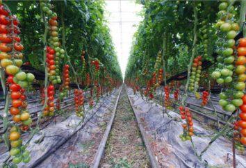 Orto per salsa, e altre complessità di coltivazione di ortaggi per i principianti