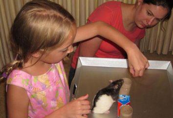 Jak trenować szczura: wskazówki i przykłady