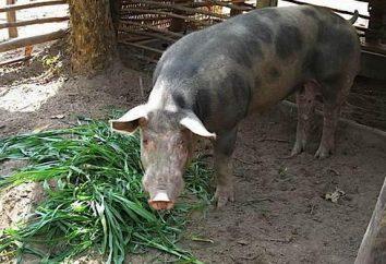 Ergänzungen und Stimulatoren für das Wachstum von Schweinen: eine Überprüfung der Zusammensetzung, Anwendung Merkmale und Bewertungen