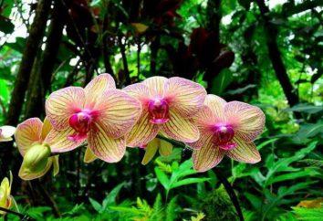 Soin d'orchidée et transplanter, conseils