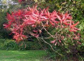 Ziersträucher: essig Baum
