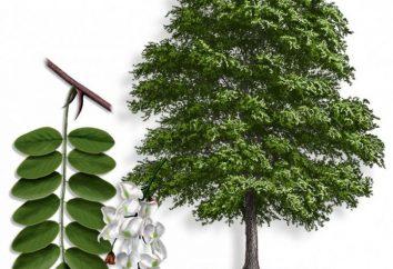 Les propriétés médicinales d'acacia. L'utilisation de la médecine traditionnelle
