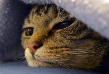 El gato en el bulto bajo la piel del vientre – ¿qué es? ¿Cómo tratar?