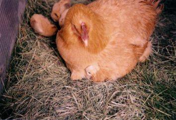 Savez-vous combien de jours pour éclore des œufs de poule?