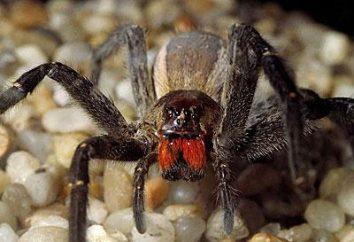 ctenidae brasileña – un representante del Libro Guinness de los Récords