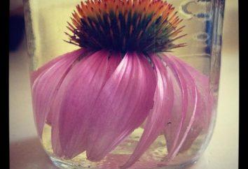 Wykorzystanie i zastosowanie Echinacea