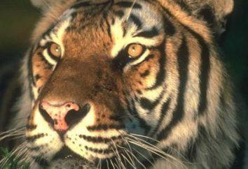 1974. Jakie zwierzę to było? Historia horoskop Wschodniej i charakterystyka Tygrysów