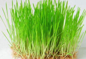 Quanto utile germe di grano? Germe di grano: i benefici ei rischi