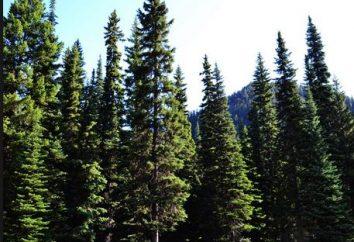 Iglasty las – źródłem silnego zdrowia