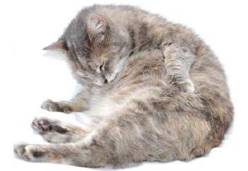 Jako wyjście pcheł u kotów? dobra rada