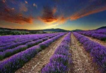 Dieser magische Lavendel