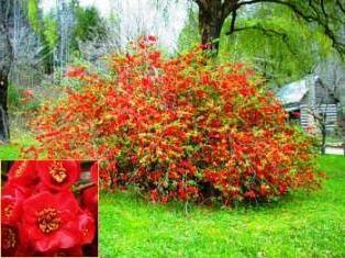 Chaenomeles japonais: caractéristiques plantation et la culture