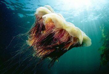 """Medusa """"juba de leão"""" e outros representantes perigosas do mar profundo"""