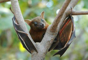 Rappresentanti di pipistrelli: elenco, caratteristiche. pipistrelli