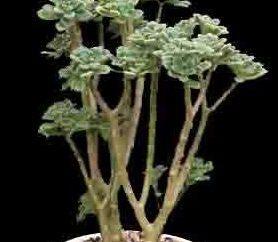 Aichryson: cuidados em casa para a árvore de amor