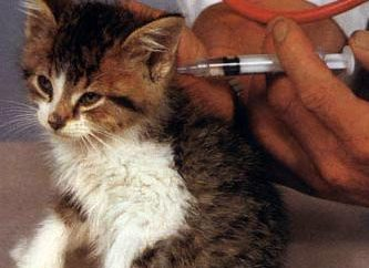 Szczepienie kotów zgodnie z zasadami