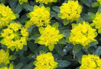 Euphorbia: Opieka w domu. Najbardziej popularne rodzaje do uprawy w pomieszczeniach