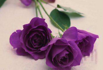 C'è qualcosa nella natura di rose viola?