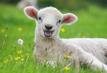 Kleine Tiere: Wie heißt das Baby Schaf und Widder?