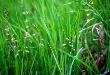 Zubrovka (trawa): właściwości użytkowe i przeciwwskazania. Gdzie trawa rośnie zubrovka