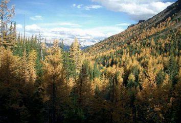 ¿Cuál es el bosque boreal? Los bosques de coníferas de la taiga: descripción, flora y fauna