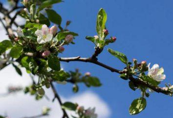 O acima do solo e sistema radicular de maçã