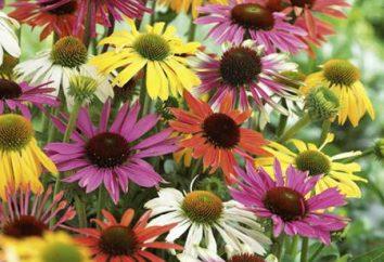 L'echinacea erbe: proprietà utili e ricette medicinali