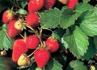 Che tipo di frutti di bosco tali – fragole rifiorenti