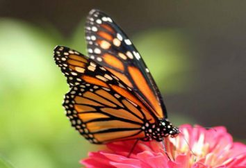 Como alimentar borboletas: eles comem na natureza e em casa?