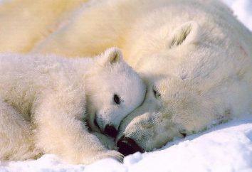 Pourquoi l'ours polaire rêve: nous trouverons la réponse