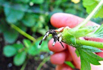 Kiedy truskawki do zdzierać wąsa zebrać dobre plony?