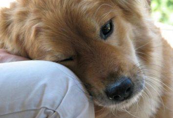 perro de compañía: raza características y criterios de selección