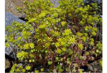 Aichryson (arbre de l'amour) – l'un des plus brillants plantes grasses