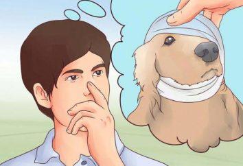 uszy spaniela: jak dbać? Możliwych chorób i ich leczenie