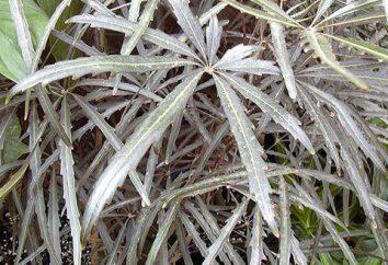 Dizigoteka: cure a casa, l'allevamento, irrigazione, le foto