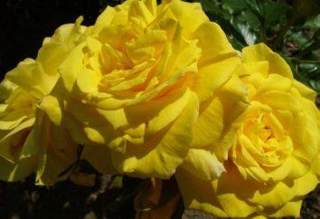 Un errore comune: rose gialle – il simbolo di tristezza?