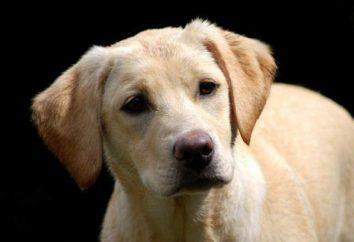 Labrador płowy: opis, pseudonimy. Czy to możliwe, na drutach z płowego labrador czekoladowy lub czarny?
