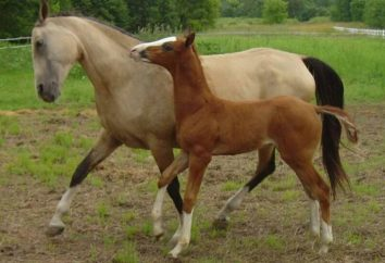 Achal-Tekkiner Pferde – eine ungewöhnliche Äußere!