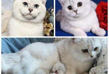 Blanc britannique: une description de la nature, les caractéristiques de contenu. chatons britanniques