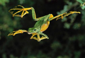 Flying Frog: descripción, variedad, manteniendo en cautiverio