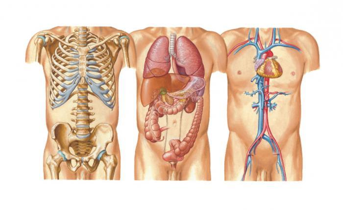 Anatomía - ¿qué es? Anatomía como ciencia