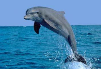 Morze Czarne Tursiops – wysoko rozwiniętych gatunków ssaków morskich